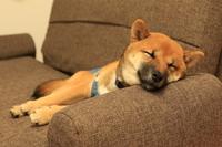 Shiba Inu to sleep on the sofa Stock photo [3629165] Shiba