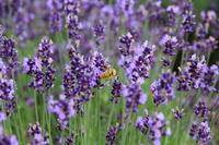 Lavender and honey bees Stock photo [3630873] Aoyama