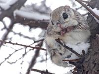 Siberian flying squirrel Stock photo [3634176] Siberian
