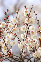 White plum Stock photo [3635889] White