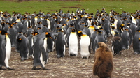 Falkland Islands King Penguin Stock photo [3734652] King