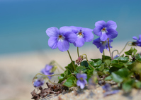 Isosumire to bloom to back the sea Stock photo [3735572] Isosumire
