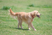 Golden retriever playing in the meadow Stock photo [3738516] Golden