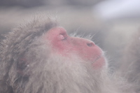 Hot spring monkey (Jigokudani Monkey Park) Stock photo [3739445] Monkey