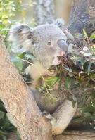 Koala Stock photo [3741613] Koala