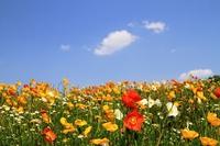 Poppy blue sky Stock photo [3741808] Poppy