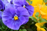 Pansy Stock photo [3743501] Pansy
