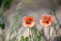 Two-wheel lined cute Papaver dubium Stock photo [3745266] Papaver