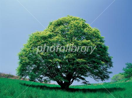 一本の樹-写真素材 一本の樹 画像ID 116632   写真素材