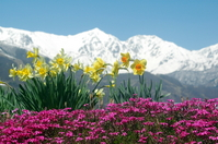 Spring flowers landscape in Hakuba-mura Stock photo [113910] Nagano