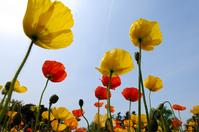 Poppy Stock photo [114232] Poppy