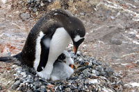 Gentoo penguins in child-rearing Stock photo [3847703] Antarctic