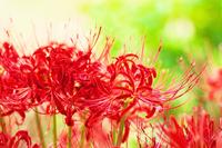 Cluster amaryllis Stock photo [3848003] Flower