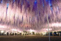 Ashikaga of OTOH Stock photo [3854179] Wisteria