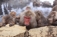 Relax enters the hot spring Japanese monkey Jigokudani Monkey Park in Yamanouchi, Nagano Prefecture Stock photo [3948673] Monkey