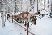 Finnish reindeer Stock photo [3951353] Reindeer