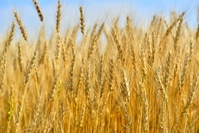 Wheat before harvest Stock photo [3952501] Wheat