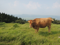 Red cow Stock photo [3952694] Aso