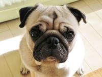 Pug Stock photo [3953285] Dog
