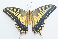 Systemic white background of yellow Ageha Stock photo [3953930] Butterfly
