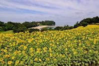 Nagasakihana Sunflower Stock photo [3957892] Sunflower