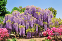 Wisteria flowers Stock photo [4037127] Wisteria