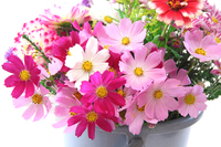 Up of a bucket full of flowers cosmos Stock photo [4037656] Cosmos