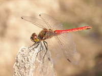 Red dragonfly Stock photo [4037990] Red