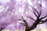 Nine feet wisteria Stock photo [4040123] Wisteria