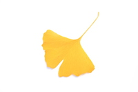 Yellow leaves of the ginkgo Stock photo [4110755] ginkgo