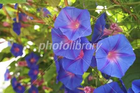 Morning glory Photo