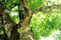 Shirakami mother tree Stock photo [148241] Shirakami