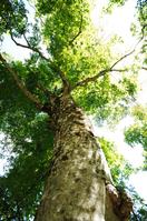Shirakami mother tree Stock photo [148244] Shirakami