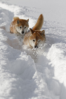 Shiba Inu of snow Stock photo [4793992] dog