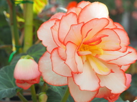 Begonia Stock photo [4887618] Begonia