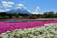 Mt. Fuji and Shiba cherry tree