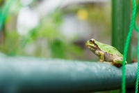 Japanese frog Stock photo [5083387] Japanese