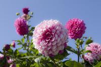 Kurokawa Dahlia garden pink color Dahlia Stock photo [5086872] Dahlia