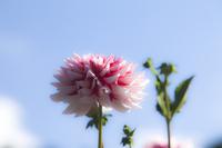 Kurokawa Dahlia garden pink color Dahlia Stock photo [5086873] Dahlia
