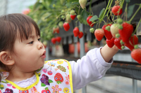 Young child hunting strawberries (2 years old)  Photo