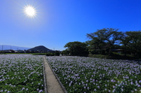 Water hyacinth of Jomonji temple ruins  Photo
