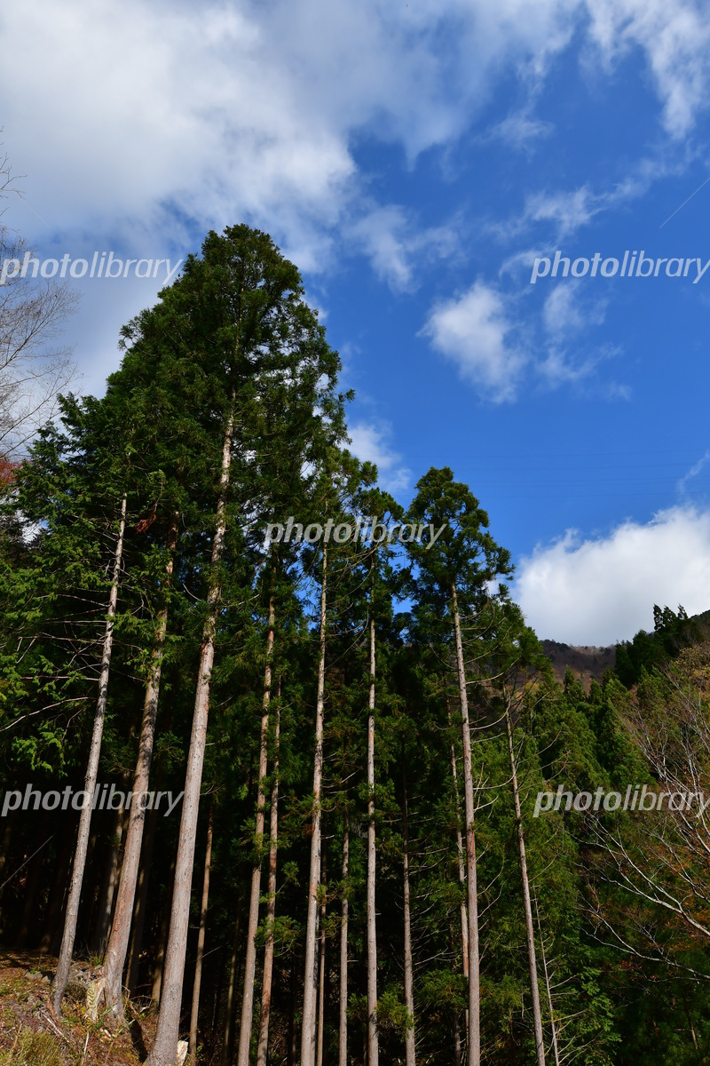 徳島那賀郡那賀町木沢村の桧林 ...