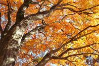 写真 Coloring maple tree(5361999)