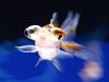 Goldfish ID:5361067