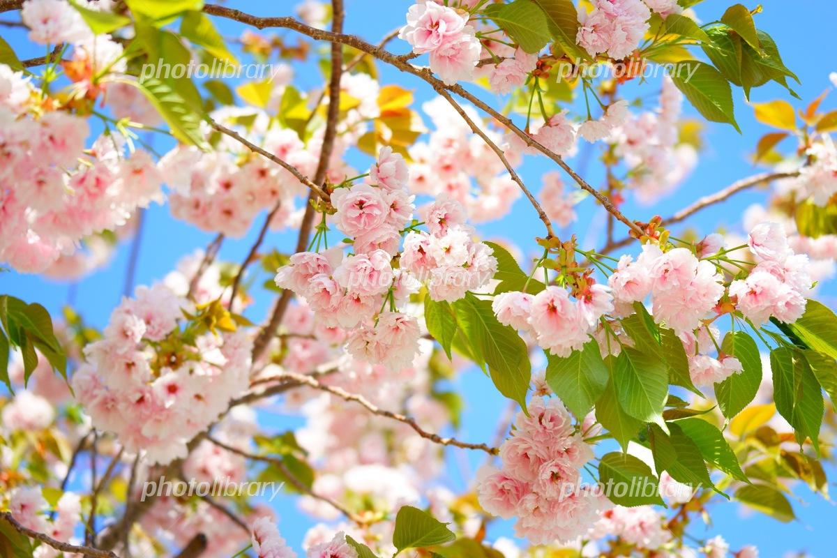 葉桜 写真素材 [ 5595962 ] - フォトライブラリー photolibrary