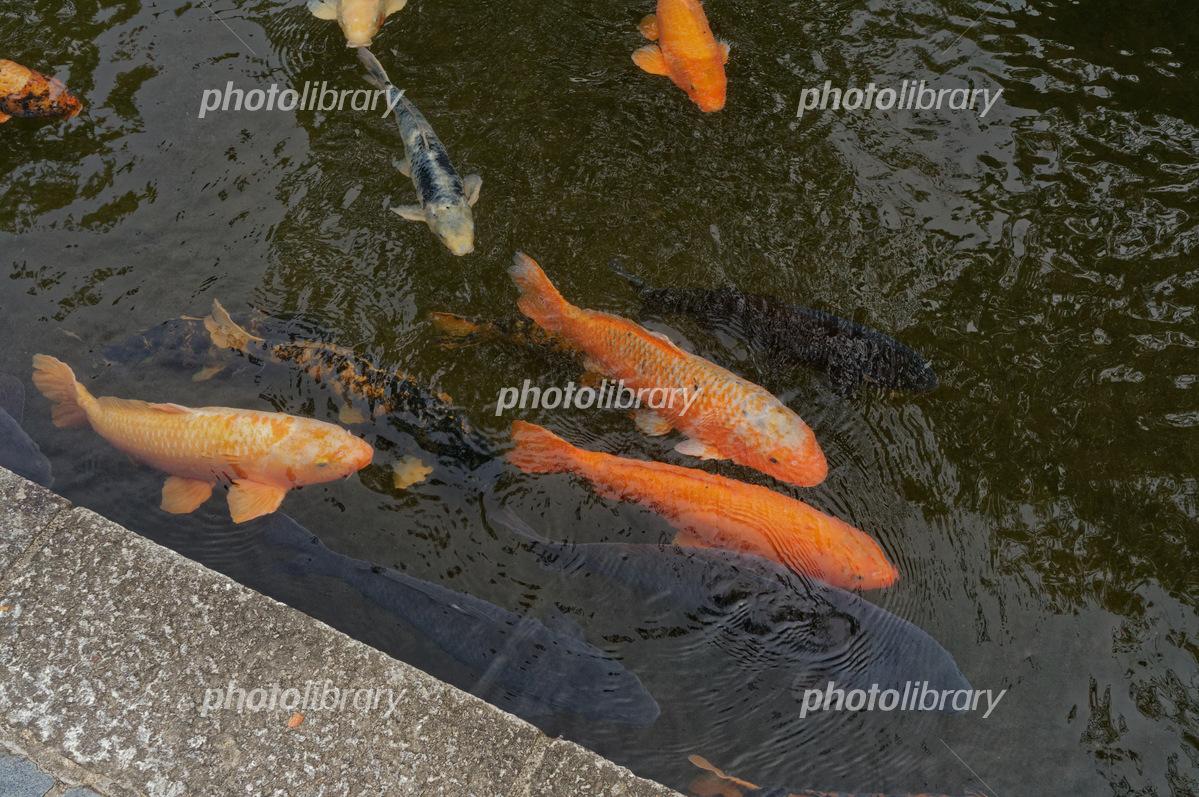 瀬戸川用水と鯉 写真素材 [ 6163...