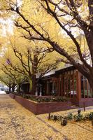 Ginkgo trees Stock photo [13220] Shrine