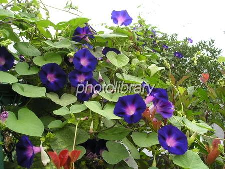 Ipomoea purpurea Photo