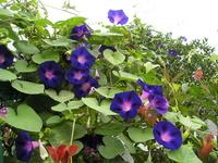 Ipomoea purpurea Stock photo [306323] Morning