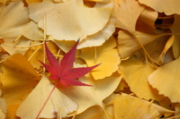 Ginkgo and autumn leaves Stock photo [355326] Fallen